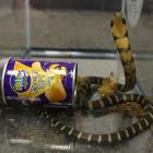 A king cobra snake seen coming out of a container of chips. Photo: Reuters