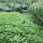 Green manure (foreground) helps build up soil and some kinds, such as mustard and marigolds ...