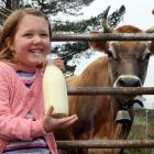 Marion McMullan (5) samples some of the first milk produced since Port Chalmers dairy farm and...