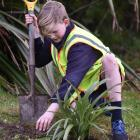 Josiah Scott (12) plants a flax during the Carisbrook School ``Project Gold'' event at Sidey Park...