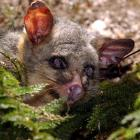 Controlling our pests is one step to improving the environment, candidates say. Photo: Otago...