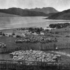 A North Auckland pastoral scene, near the head, Herekino Harbour. — Otago Witness, 26.9.1917.