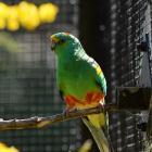 A male mulga parrot (Psephotellus varius) in the aviary. Photo: Linda Robertson