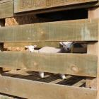 With the Eade family's bobby calf loading pen getting little use, the family's two pet lambs...