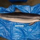 A rare striped dolphin is examined at the Otago Museum after washing up dead on Warrington Beach....