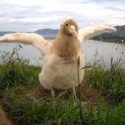 Webcam star albatross Tumanako who fledged last month. Photo: Supplied