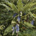Mahonia lomariifolia. Photo: Gerard O'Brien