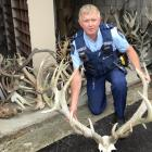 Senior Constable Murray Hewitson with several deer antlers seized at a Dunedin property. Photo:...