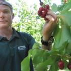 Jackson Orchard staff member Lindsay Reid picks the first cherries of the season at Jackson...