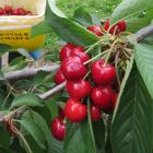 Cherry picking season in Central Otago starts this week, about 10 days earlier than usual. Photo:...