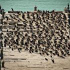 The Oamaru Harbour shag colony could soon be the largest in Otago. PHOTO: CHRIS LALAS