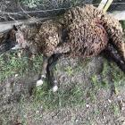 Mauled: Pet sheep Madeline on Monday morning. Photo: Supplied