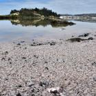 Low tide at Andersons Bay Inlet shows the extent of a ''white krill'' stranding yesterday. Photos...
