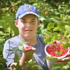 Logan Dale (14) is busy picking raspberries at McArthur's Berry Farm, near Outram. Photo: Gerard...