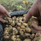 Peter Armstrong is harvesting the Jersey benne potatoes he grows at Teschemakers, just south of...