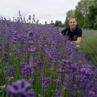 Rob Martin, of Limestone Valley Estate, checks on one of his Pacific blue lavender crops near...