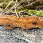 The rare orange spotted gecko lives in the Upper Clutha. PHOTO: CRIS JOHNSTON