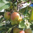 There is a huge range of sizes and colours of wild apple fruit.