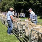 Buyers inspect the offering at the Nine Mile poll merino sale. PHOTO: MARK FERGUSON