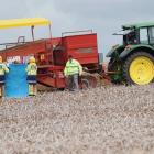 An Indian man was killed in a workplace accident with a potato harvester on a farm in Puni, near...