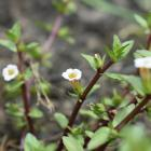 A rare plant species, Gratiola sexdentata, has been found at Silverstream Reserve, near Kaiapoi. ...