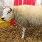 One of the Beltex sheep on show at the field days stands in the pen waiting to be examined by...
