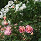 English Rose R. 'Jubilee Celebration' at Dunedin Botanic Garden. Photo: Christine O'Connor