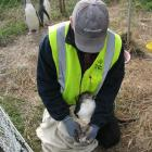 South Otago Forest & Bird committee member Jim Young feeds a baby yellow-eyed penguin during...