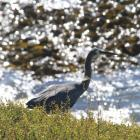 A white-faced heron walks through long grass at Katiki Point. PHOTO: HAMISH MACLEAN