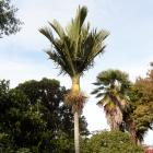 The nikau palm of London St. Photo: Linda Robertson