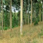 Trees such as eucalyptus are being trialled for their durable timbers. Photo from Allied Press...