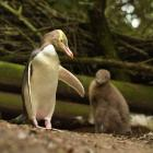 Moeraki's yellow-eyed penguin colony was among the hardest hit by avian malaria, which had not...