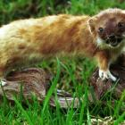 The success of trapping operations for pests such as stoats has been described as ``fantastic''....