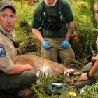 Cougar shot and killed in Washington State after killing a mountainbiker and injuring another. Photo: Twitter
