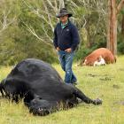 Taieri farmer James Adam with two of the cattle beasts shot on his Otokia-Kuri Bush Rd property...