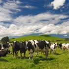 The government says it is committed to eradicating Mycoplasma bovis with a 10-year plan that will...