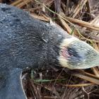 A yellow-eyed penguin after a dog attack in the Catlins. Photo: Yellow-Eyed Penguin Trust