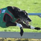 Darfield greyhound Wheelchair Norm flew into the greyhound history books at Forbury Park...