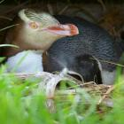 About 250 breeding pairs of yellow-eyed penguins exist on the New Zealand mainland. Photo: ODT...