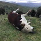 Carrick Station owner Donald Clark's  Hereford bull was found dead on Sunday in mysterious...