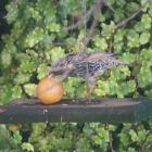 A thrush hanging out in Dorothy O'Donnell's garden, having scared away the silvereyes. Photo:...