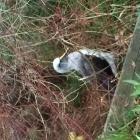 Buller's Albatross maybe 🙂