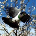 Kereru are protected birds under the Wildlife Act. Photo by Gerard O'Brien