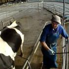 Hidden video footage shows alleged animal abuse. Photo: Supplied