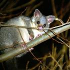 To date the group has removed 12,600 possums through volunteer efforts.