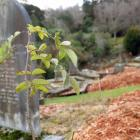 Heritage roses have been replanted at Dunedin's Northern Cemetery to replace those poisoned in...