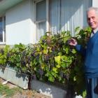 Milton man Colin Weatherall by the 30m grapevine he grew from a cutting. Photos: Gillian Vine