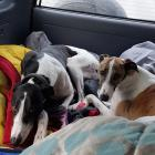 A happy Turbo (right) heads back to Christchurch with brother Aston after being found two days...