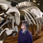 Dunedin historian Rosi Crane looks up at the Otago Museum's 16m-long juvenile fin whale skeleton,...