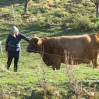 Lyn James, of Cromwell, along with husband Graham Smith, use Strawberry the Dexter-Jersey cow's...